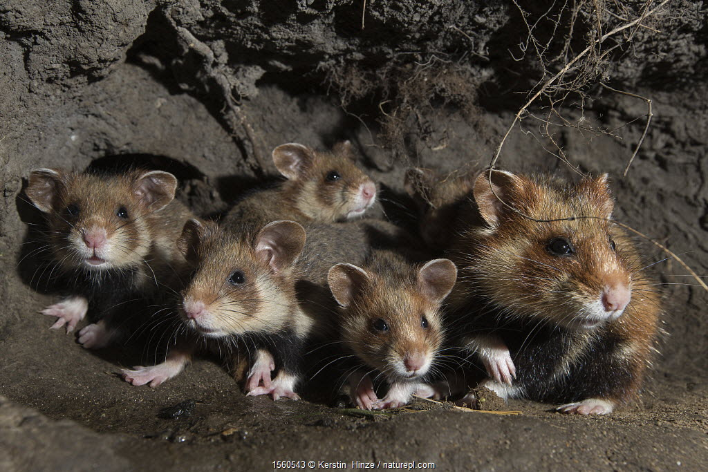 European hamster (Cricetus cricetus) female and juveniles in burrow, captive.