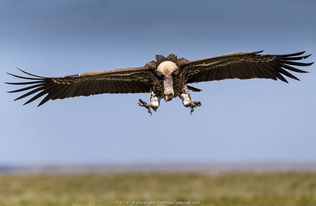 Ruppell's vulture (Gyps rueppellii) coming in to land near carcass. Ndutu Plain. Ngorongoro Conservation Area, Tanzania.