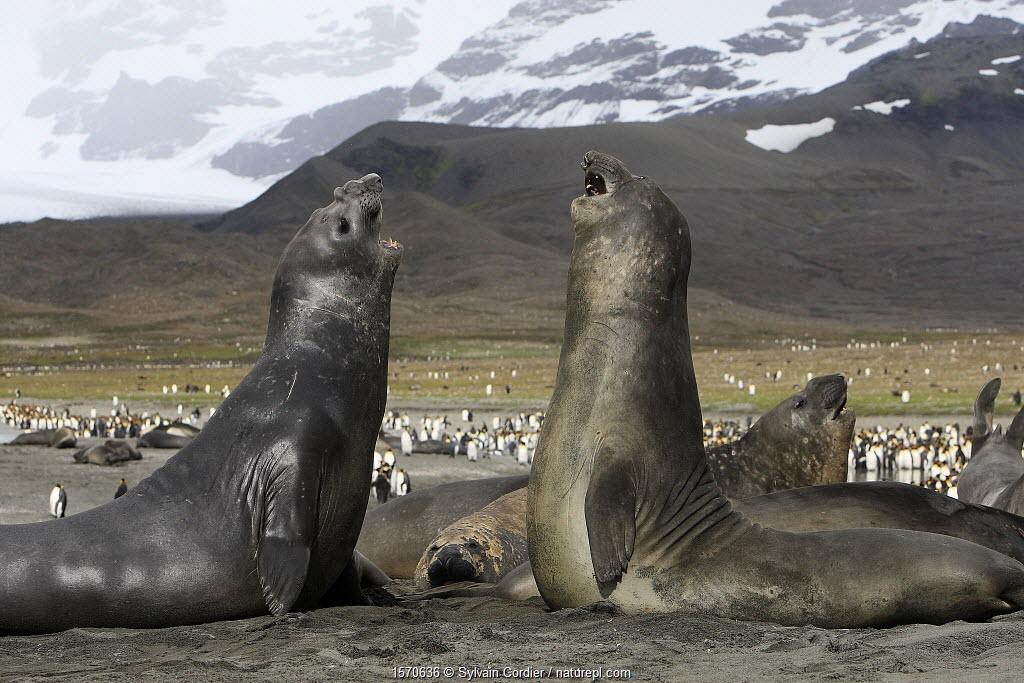 Southern elephant seal (Mirounga leonina), fight between two males, Saint Andrew, South Georgia.