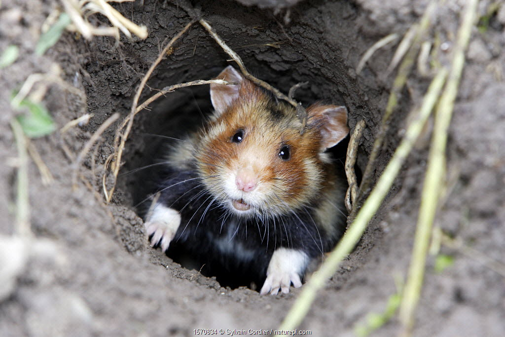 Common hamster (Cricetus cricetus), coming out from the burrow, Alsace, France, May.