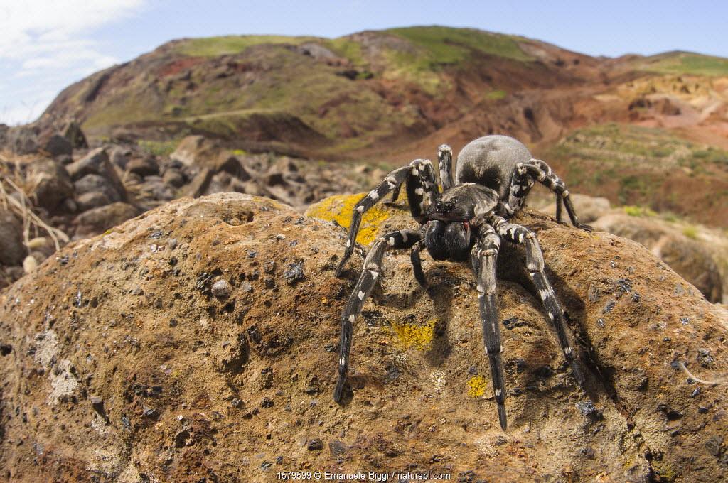 Deserta Grande wolf spider (Hogna ingens), Deserta Grande, Madeira, Portugal. Critically endangered