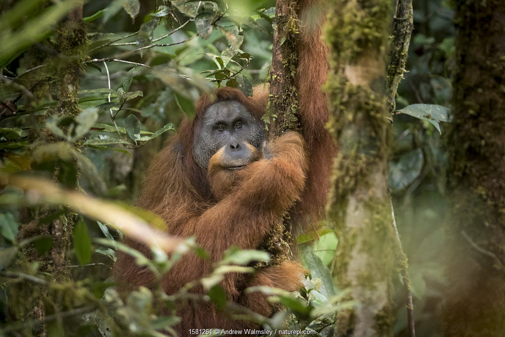 Tapanuli Orangutan (Pongo tapanuliensis) portrait of male 'Togos', Batang Toru, North Sumatra, Indonesia. This is a newly identified species of orangutan, limited to the Batang Toru forests in North Sumatra is with a population of about 800 individuals.