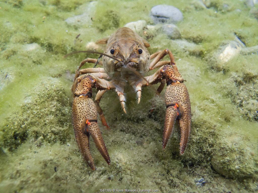 European crayfish (Astacus astacus) in a lake. Alps, Switzerland, July.
