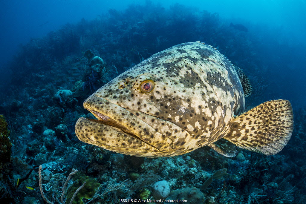 Goliath grouper (Epinephelus itajara) on a coral reef. Jardines de la Reina, Gardens of the Queen National Park, Cuba. Caribbean Sea.