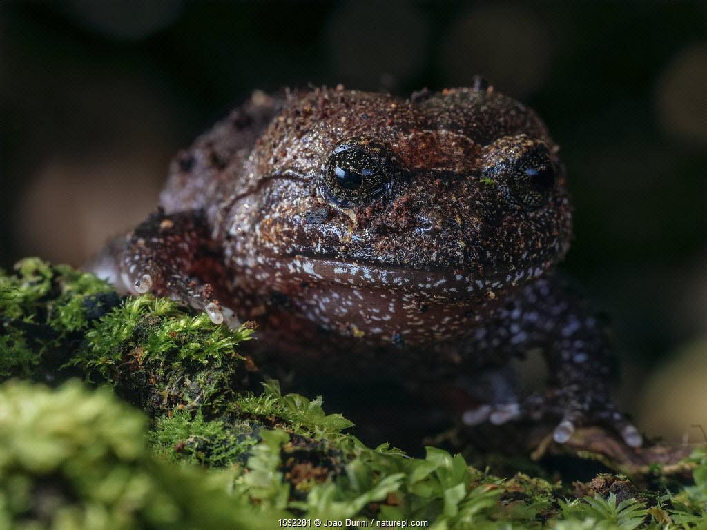 Frog (Cycloramphus acangatan) vulnerable frog species. South-east Atlantic forest, Tapirai, Sao Paulo, Brazil.