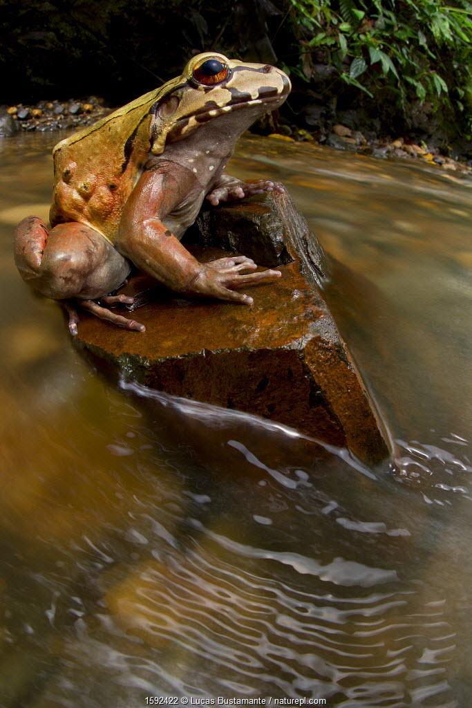 Coastal Ecuador smoky jungle frog / Choco jungle-frog (Leptodactylus peritoaktites) sitting on stone in stream, Canande, Esmeraldas, Ecuador, Vulnerable species.