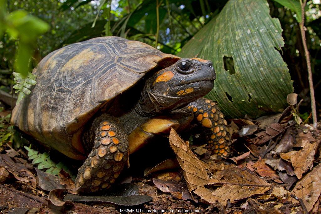 Yellow footed tortoise (Chelonoidis denticulata) portrait, Yasuni National Park, Orellana, Ecuador. Vulnerable species