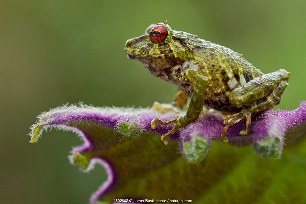 Moss rainfrog (Pristimantis eriphus) siting on leaf, Cosango, Napo Ecuador, Vulnerable species.