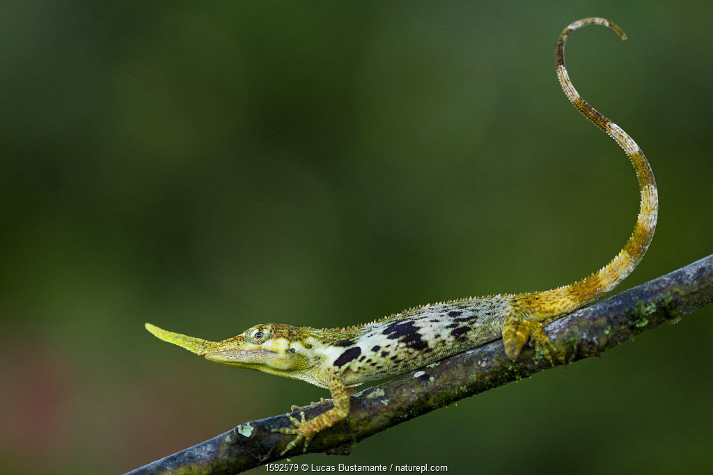 Pinocchio lizard (Anolis proboscis) male on twig, Mindo, Pichincha, Ecuador, January 2013, Endangered species.
