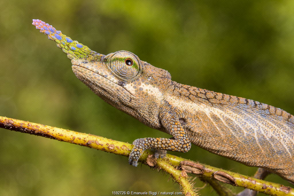 Lance-nosed chameleon (Calumma gallus), Andasibe-Mantadia National Park. Madagascar