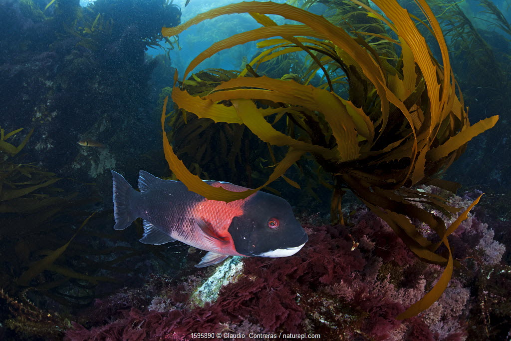 California sheephead (Semicossyphus pulcher) among Southern Sea Palm (Eisenia arborea), San Benitos Islands, Baja California Pacific Islands Biosphere Reserve, Baja California, Mexico, May. Vulnerable species.