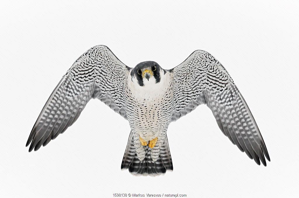Peregrine falcon (Falco peregrinus) in flight, Canada, January.