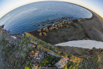 Fisheye view of Walrus (Odobenus rosmarus) colony resting, Vaygach Island, Arctic, Russia.