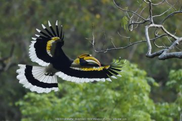 Great pied hornbill (Buceros bicornis) bird photographed in flight in Hong Bung He, Dehong, Yunnan, China.