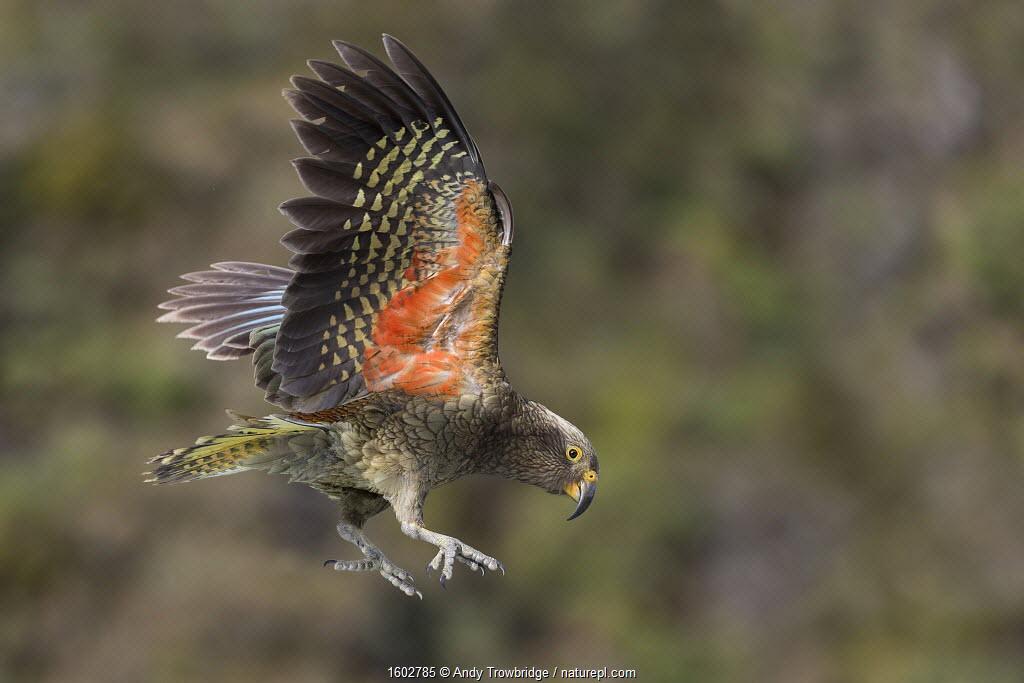 Kea (Nestor notabilis) juvenile in flight. Arthur's Pass National Park, South Island, New Zealand. Endangered Species. Photographer