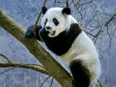 Giant panda (Ailuropoda melanoleuca) subadult climbing in a tree, Sichuan Province, China. Captive Photographer
