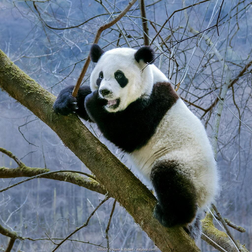 Giant panda (Ailuropoda melanoleuca) subadult climbing in a tree, Sichuan Province, China. Captive Photographer