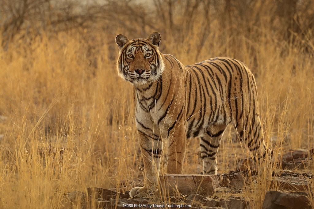 Bengal tiger (Panthera tigris) female 'T19 Krishna', Ranthambhore, India