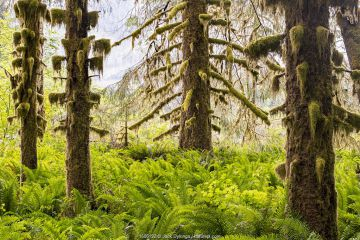 Hoh Rain Forest with moss covered Sitka spruce (Picea sitchenis) trees in morning fog. Olympic National Park, Washington, USA.