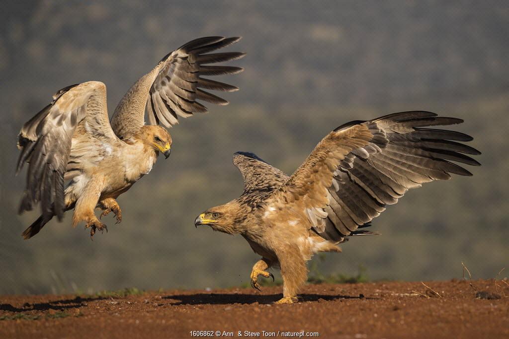 Tawny eagles (Aquila rapax) fighting, Zimanga Private Game Reserve, KwaZulu-Natal, South Africa.