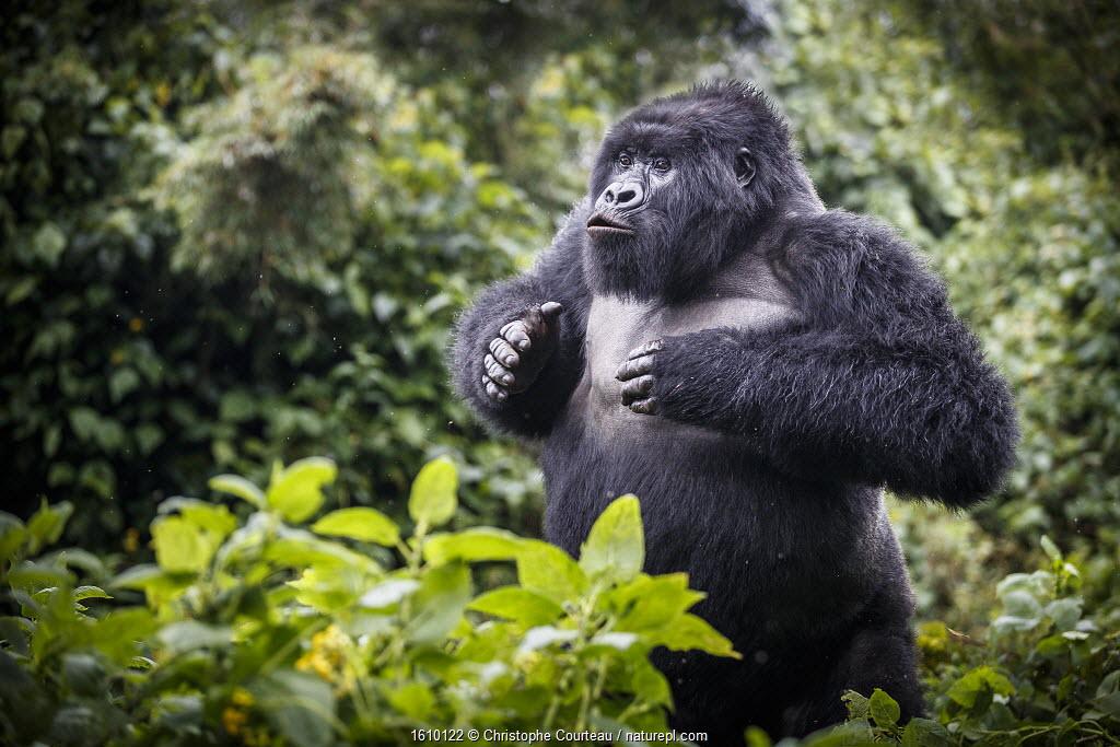 Mountain gorilla - blackback, juvenile male demonstrating power, Volcanoes National Park, Rwanda.