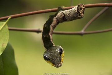 Sphinx hawk moth caterpillar, snake mimic species, Maijuna, Rio Napo, Peru.