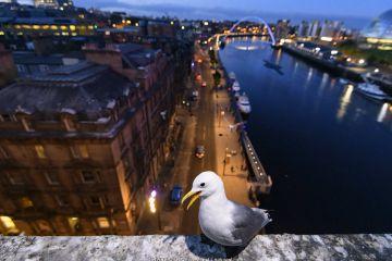 Black-legged kittiwake perched on the side of the Tyne Bridge, overlooking Newcastle and the Tyne.