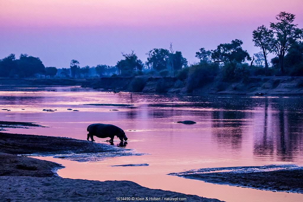 Hippopotamus silhouetted, walking to the Luangwa River at dawn, Luangwa National Park, Zambia.