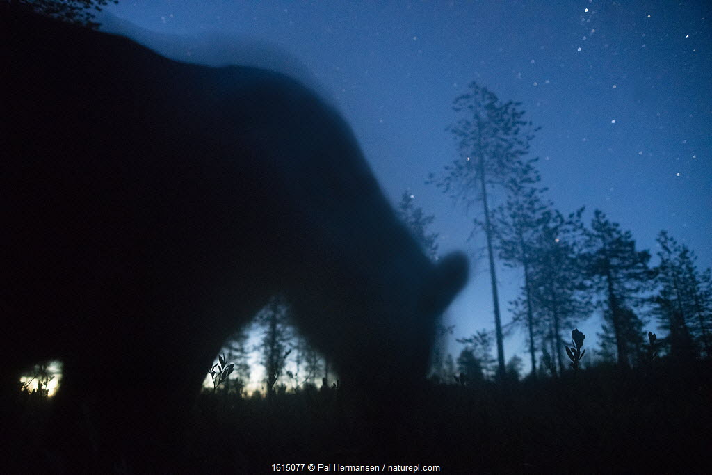 Bear silhouetted under starry sky, Finland.