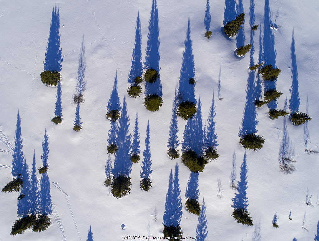 Scattered conifers with long shadows in snow, Golsfjell, Norway.