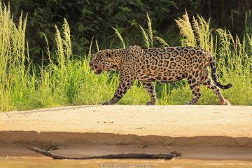 Old male jaguar hunting on riverbank, Pantanal, Brazil.