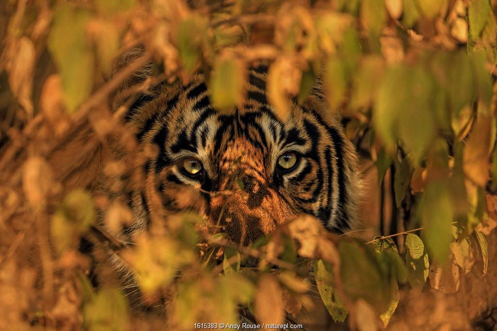 Bengal tiger peering through leaves of bushes, Ranthambhore, India.