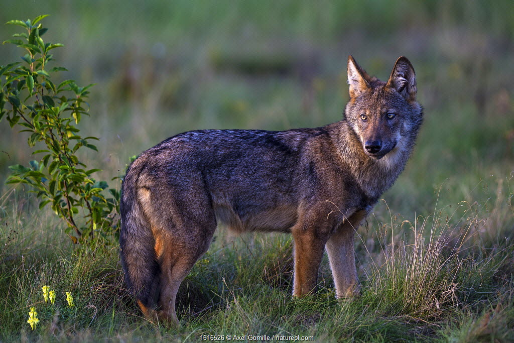 Wolf standing in meadow, Germany