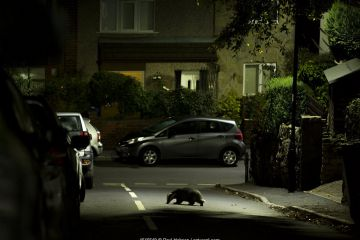 Badger crossing road in residential area at night, England.