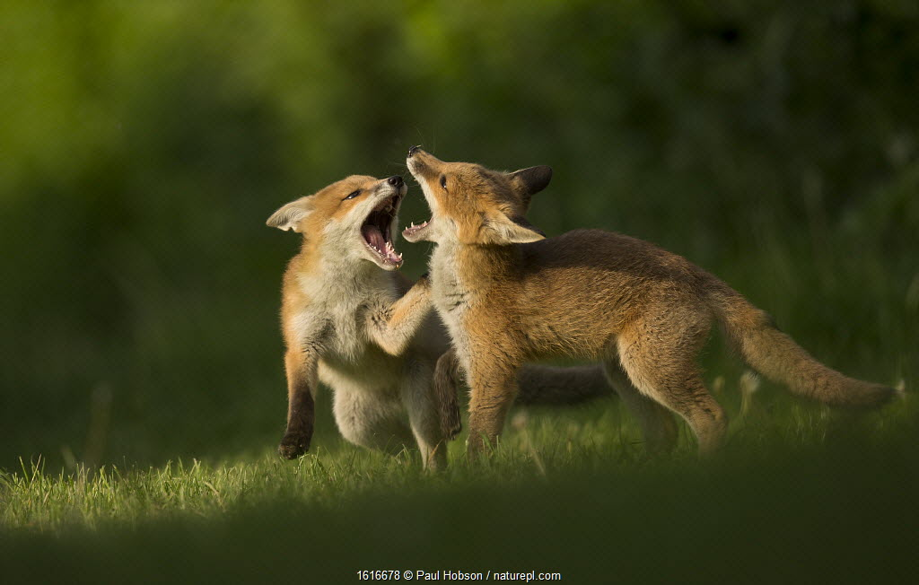 Red fox cubs play fighting, England.
