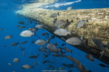 Fish seeking shelter around a floating log in open ocean, off coast of Cocos Island National Park, Costa Rica.