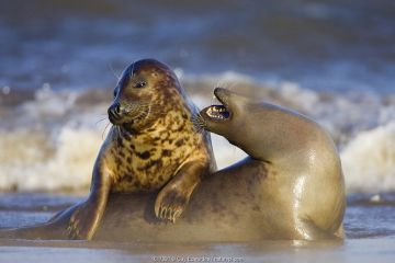 Grey seal females playing, Lincolnshire, England.