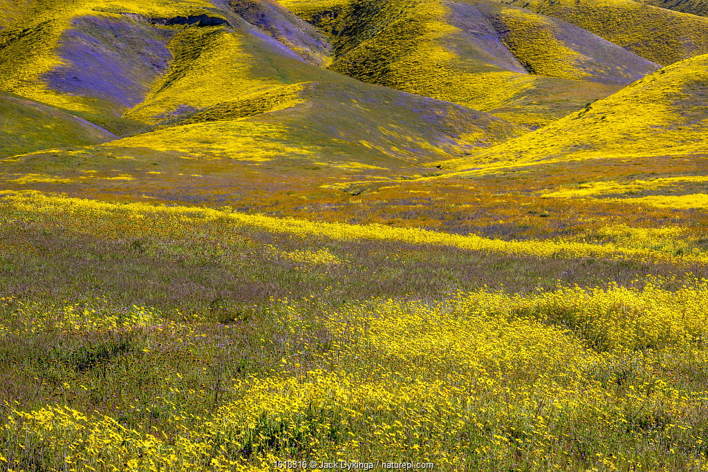 Steep valleys in the foothills of the Temblor Range, carpeted with Coreopsis (yellow) and Phacelia (purple) with patches of orange California poppies, Carrizo Plain, California, USA.