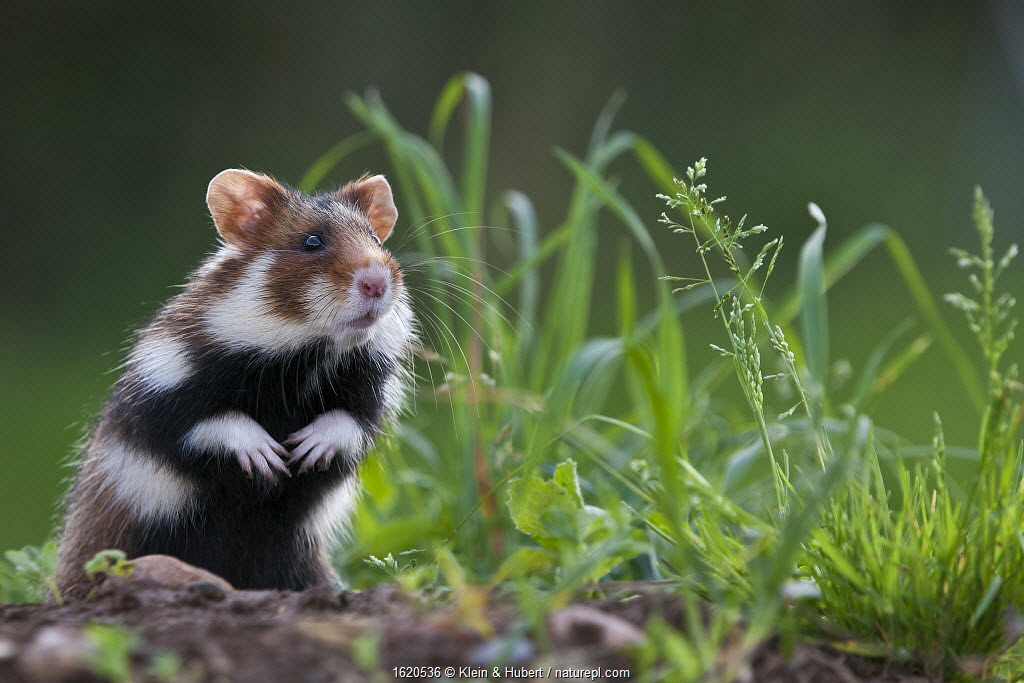 European Hamster (Cricetus cricetus) standing next to burrow. Alsace, France.