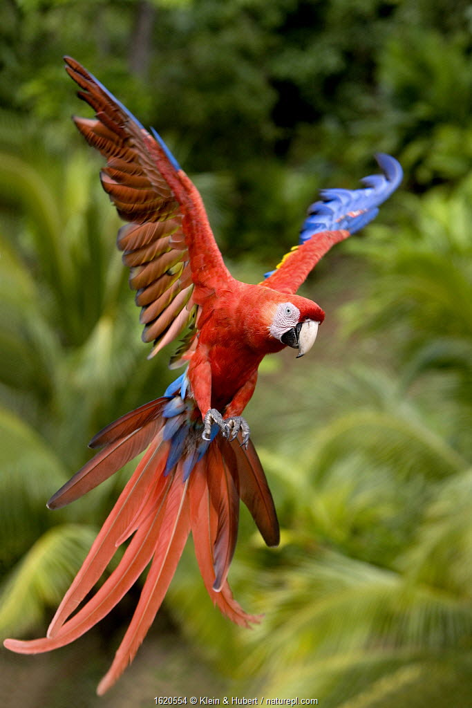Scarlet macaw (Ara macao) in flight, Central America.