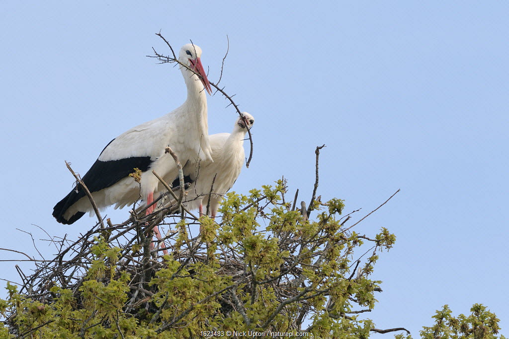 White stork (Ciconia ciconia) pair arranging nest material on their nest in an Oak tree, Knepp estate, Sussex, UK, April 2019.