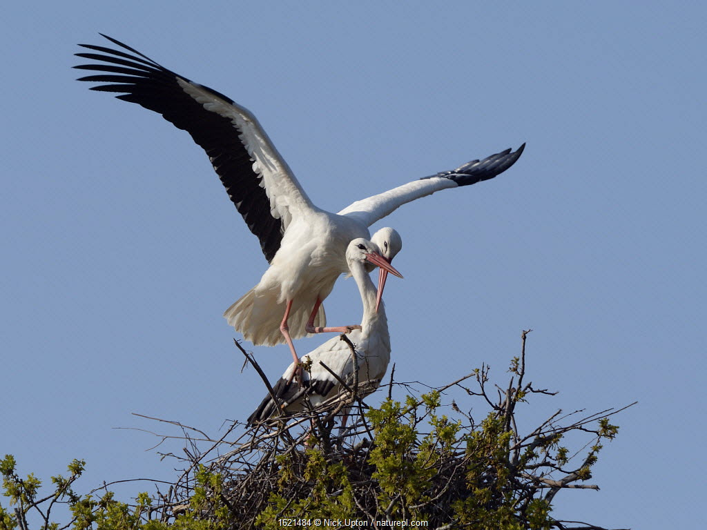 White stork (Ciconia ciconia) pair mating on their nest, Knepp estate, Sussex, UK, April 2019.