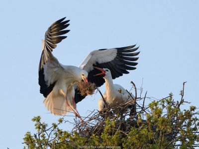 White stork (Ciconia ciconia) male landing with nest material as his mate bill clatters on their nest in an Oak tree, Knepp estate, Sussex, UK, April 2019.