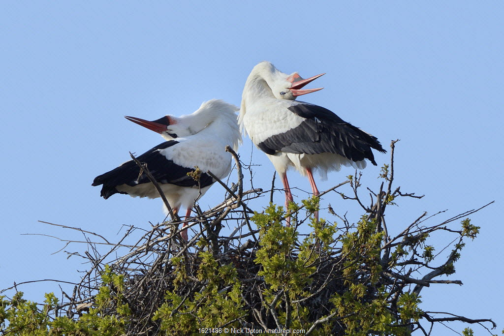 White stork (Ciconia ciconia) pair performing an up-down display with bill clattering on their nest in an Oak tree, Knepp estate, Sussex, UK, April 2019.