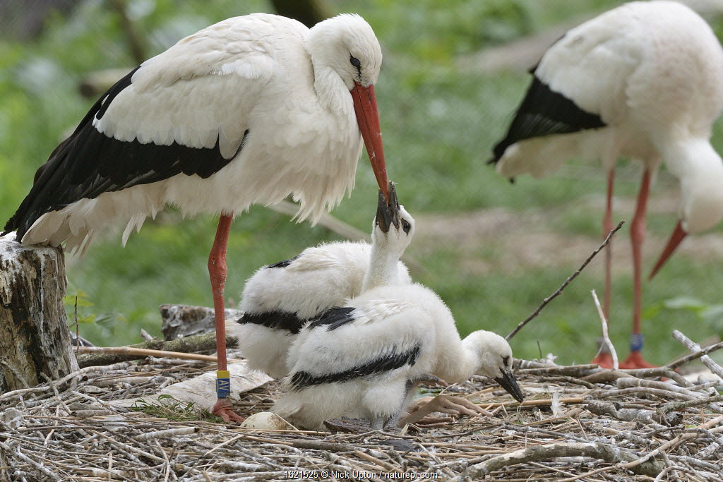White stork (Ciconia ciconia) chick begging from a parent on its nest. In captive breeding colony raising young birds for UK White Stork reintroduction project at the Knepp Estate. Cotswold Wildlife Park, Oxfordshire, UK, May 2019.