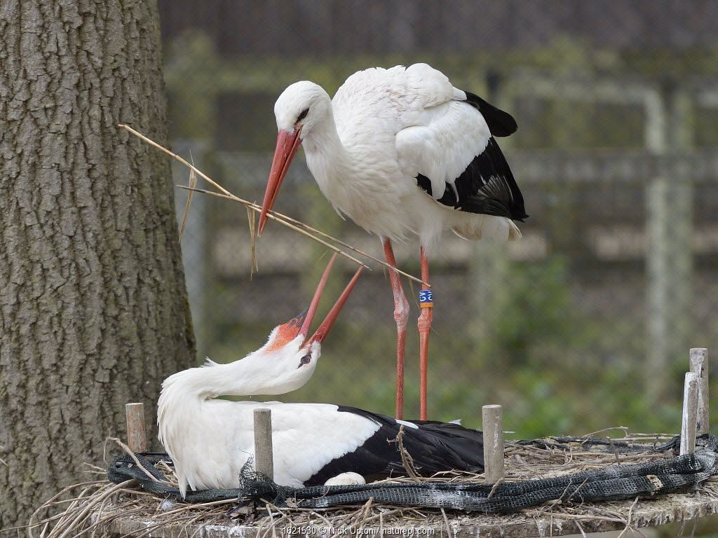 White stork (Ciconia ciconia) bringing extra nest material to its nest, whilst its mate sits. In captive breeding colony raising chicks for UK White Stork reintroduction project at the Knepp Estate. Cotswold Wildlife Park, Oxfordshire, UK, April 2019.