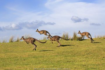 Eastern Grey Kangaroo (Macropus giganteus) group jumping, Maloney Beach, New South Wales, Australia.