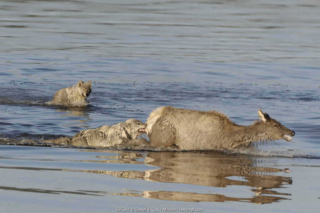 Gray Wolf (Canis lupus) pair predating female Elk (Cervus elaphus) crossing river, Alum Creek, Yellowstone National Park, Wyoming, USA.