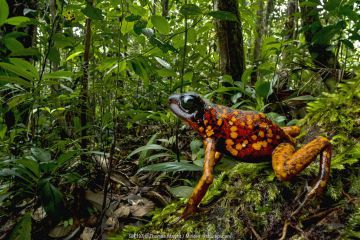 Splendid Poison Dart Frog (Dendrobates sylvaticus) in rainforest, Timbiqui, Colombia.