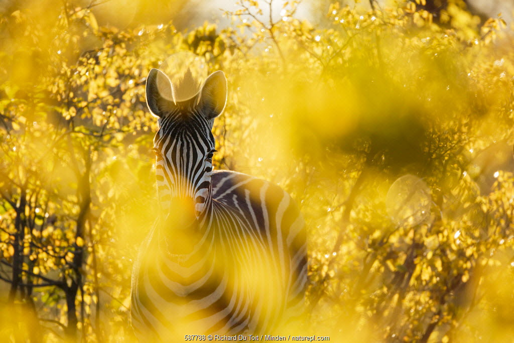 Burchell's Zebra (Equus burchellii) in bushes at sunset, Kruger National Park, South Africa